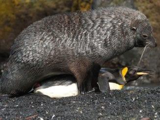 seal attacks penguin rape