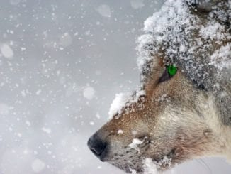 spirit animal wolf